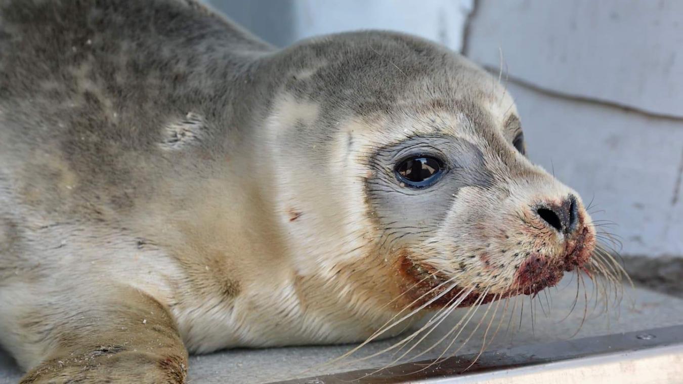 Dimanche 15 septembre, un bébé phoque a été retrouvé sur la plage de Malo-les-Bains, à Dunkerque, en mauvaise posture. L'animal n'a pas survécu. © Centre de soins de la faune suavage LPA de Calais