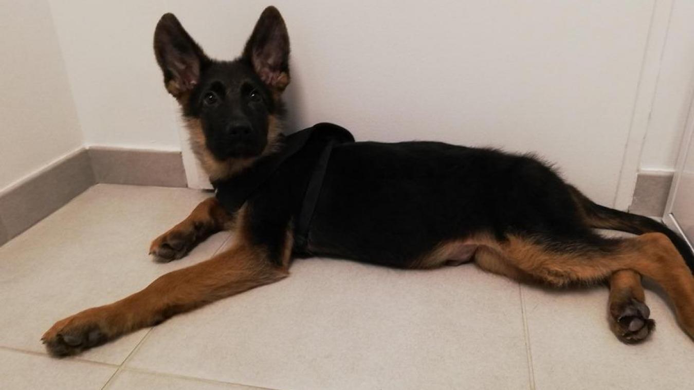 Bosco est un berger allemand de quatre mois.