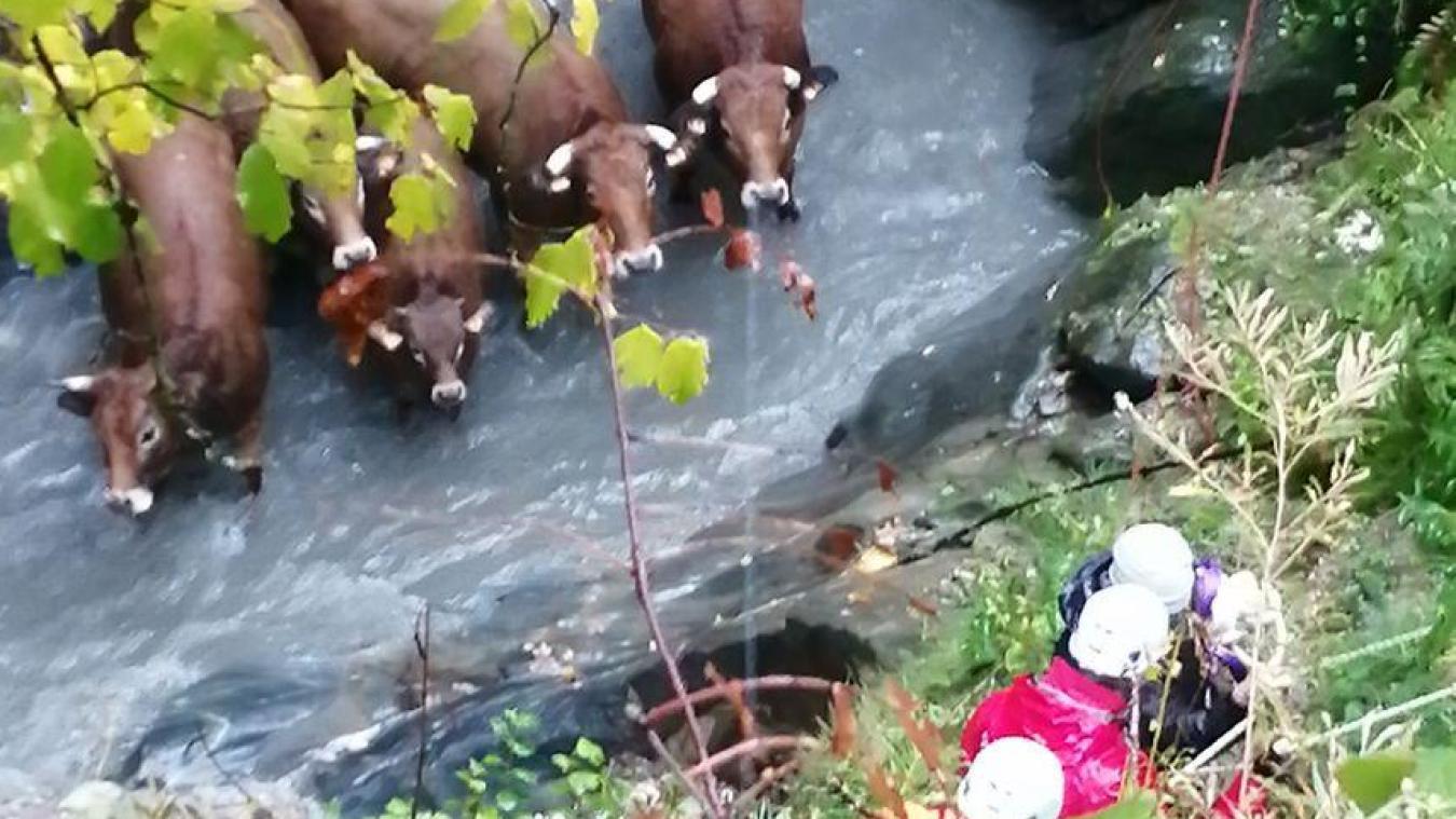 Mercredi 17 octobre les pompiers ont sauvé sept vaches tombées dans un ruisseau sur la commune de Megève. © SDIS 74