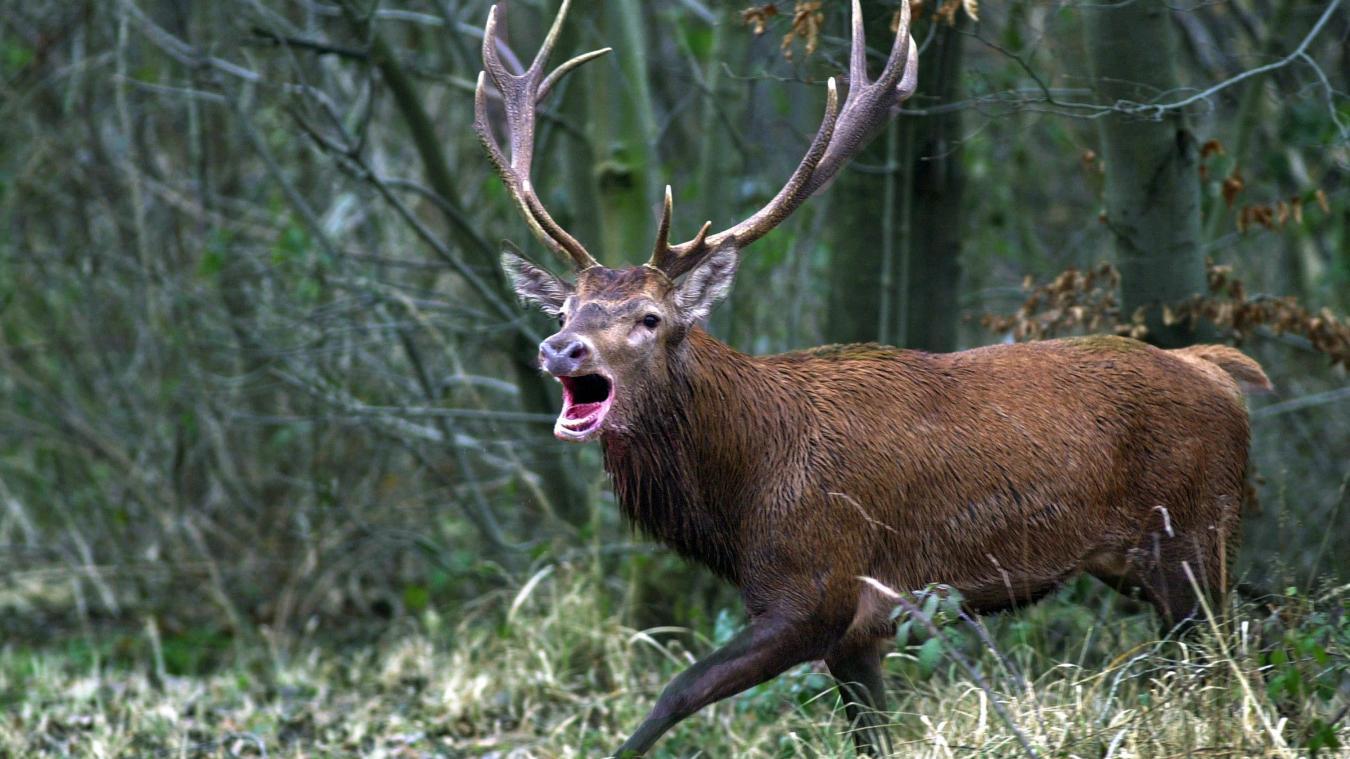 Le cerf censé être mort a tué le chasseur qui lui avait tiré dessus.