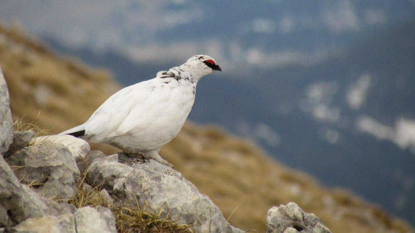 Un lagopède alpin, aussi appelé perdrix blanche.