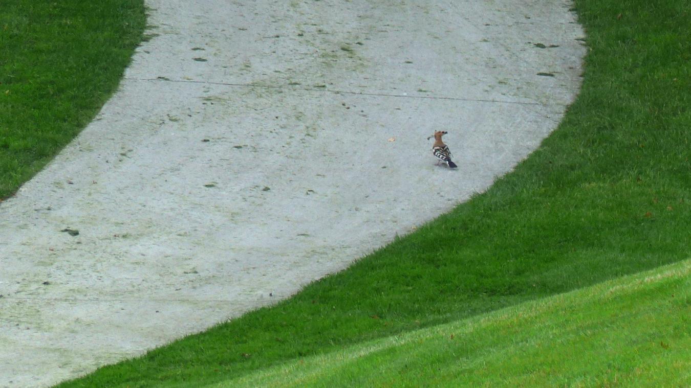 La rare et superbe Huppe fasciée photographiée ce printemps sur le green du golf de Bossey.