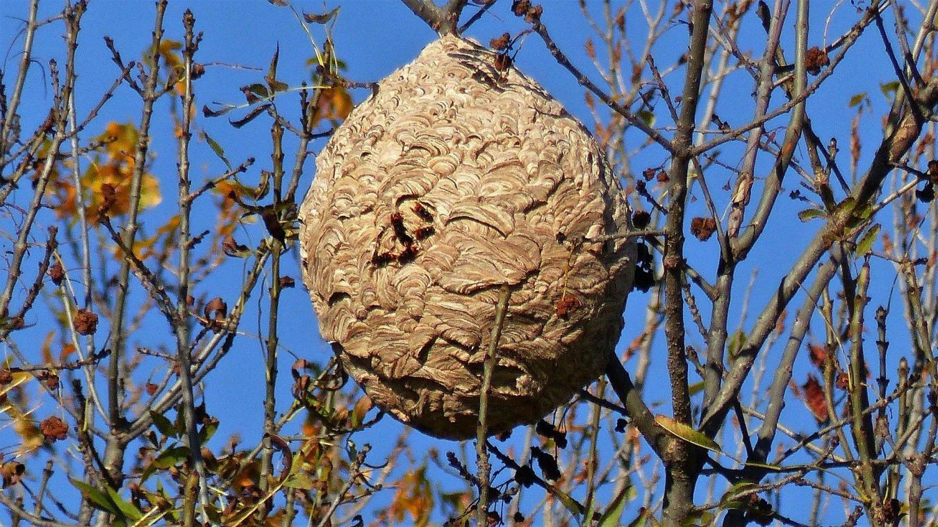 Les nids du frelon asiatique sont caractérisés par leur taille et sont souvent perchés haut dans les arbres. ©Claude Alleva
