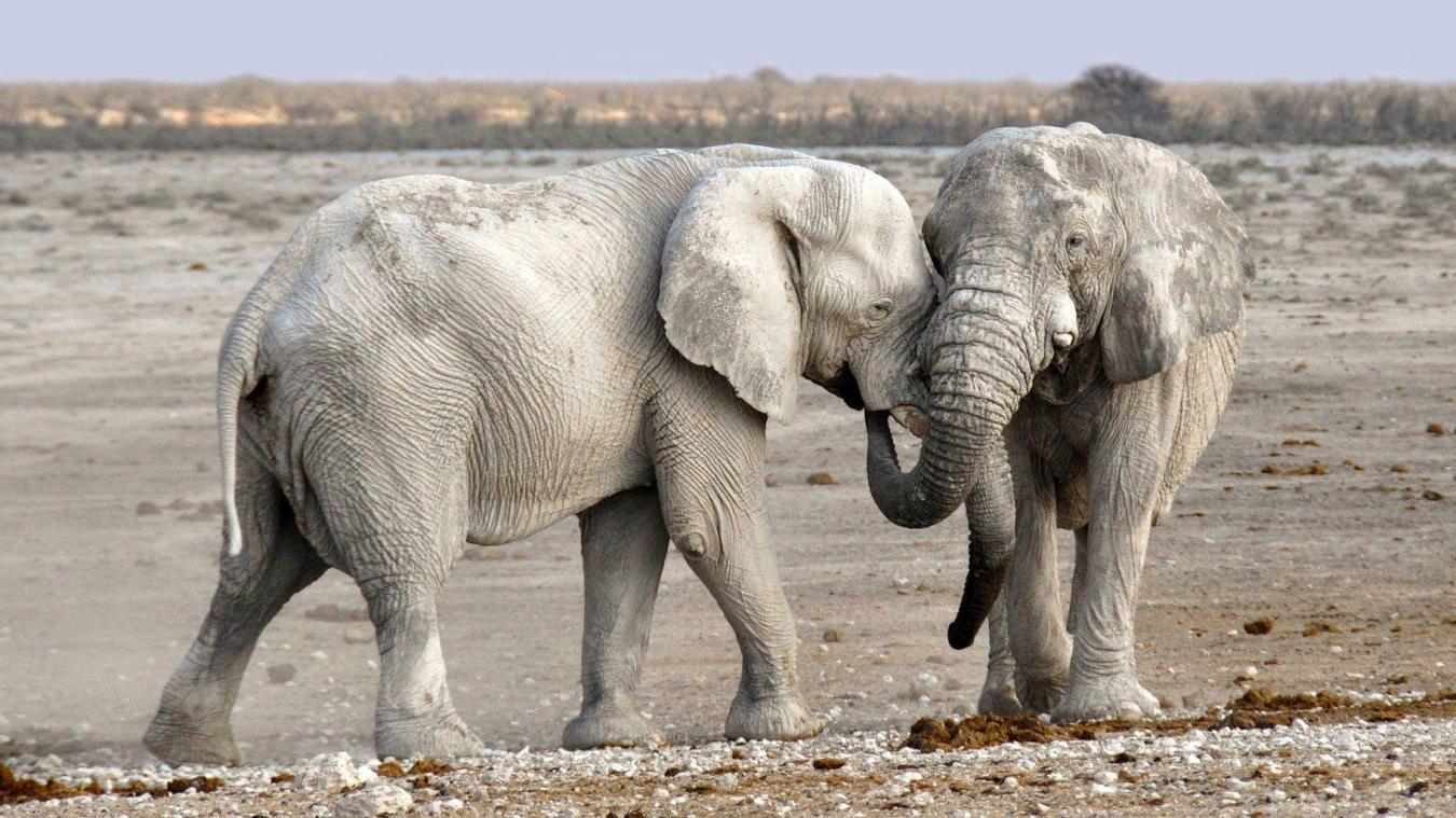 Des éléphants morts par intoxication — Botswana