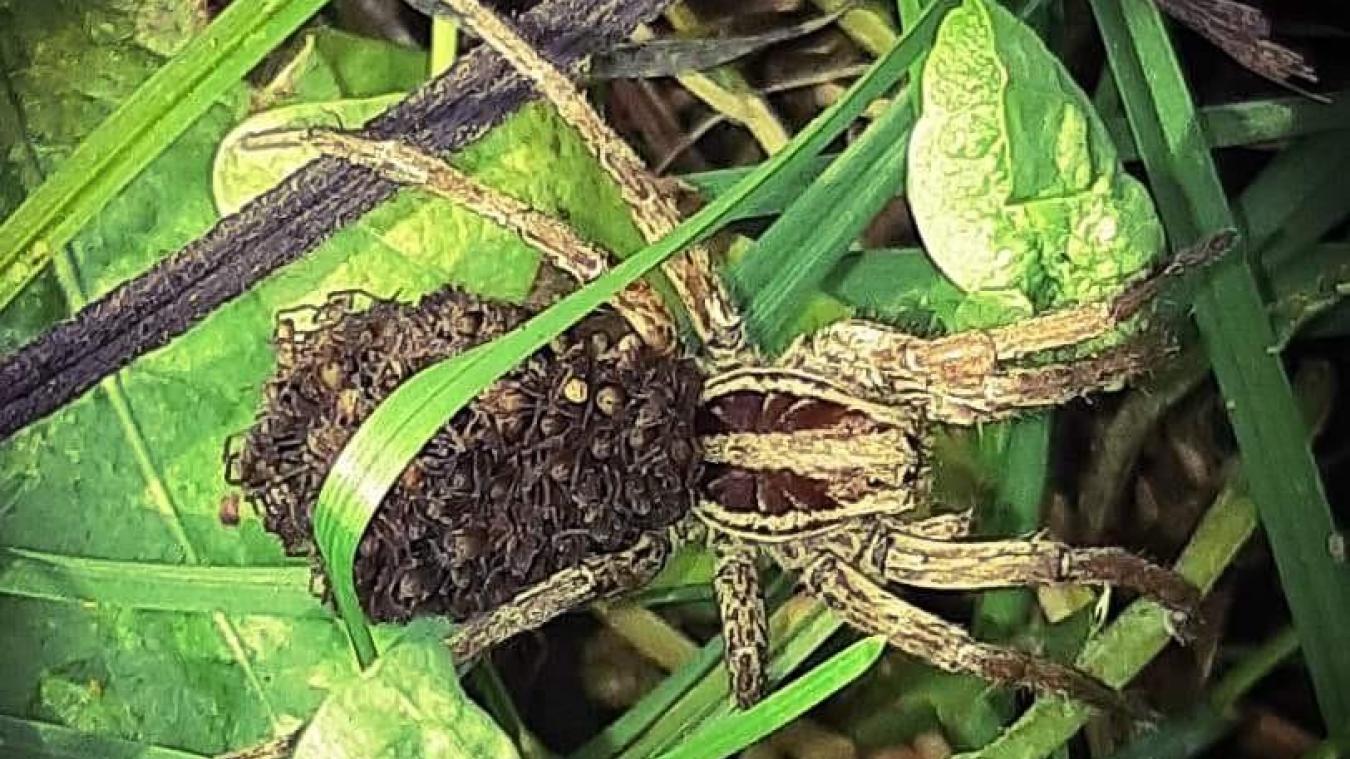 Mercury: elle apparaît dans nos paysages: faut-il avoir peur de l'araignée-loup?