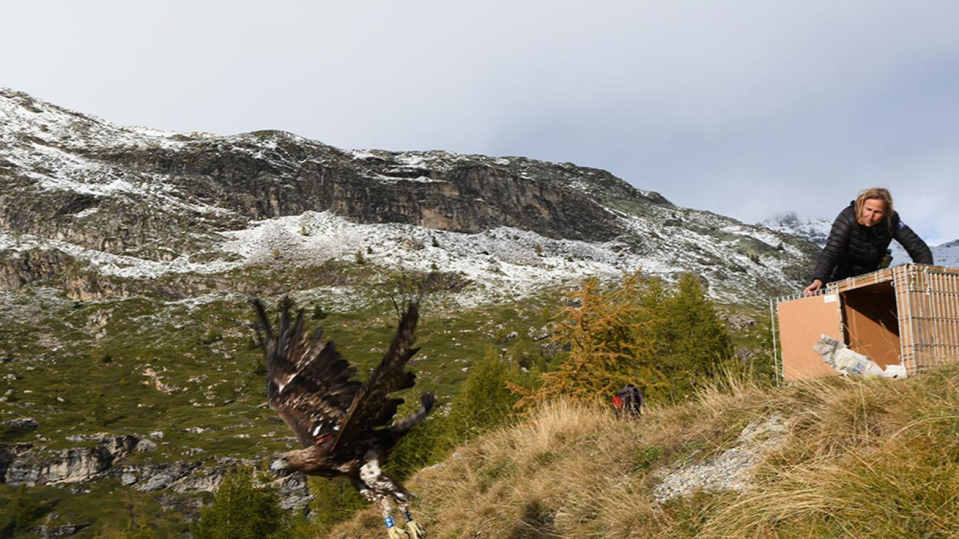 Sainte-Foy en Tarentaise : Un aigle royal, sauvé par le centre de soins Le Tichodrome, retrouve sa liberté