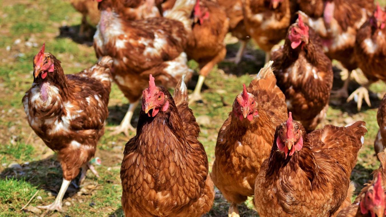 Les éleveurs doivent confiner leurs volailles pour les protéger.
