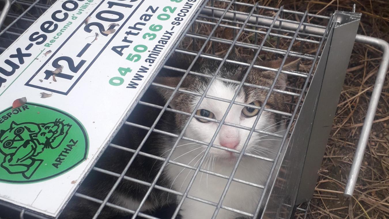 Un chat trappé, qui a été opéré, identifié et relâché sur site.