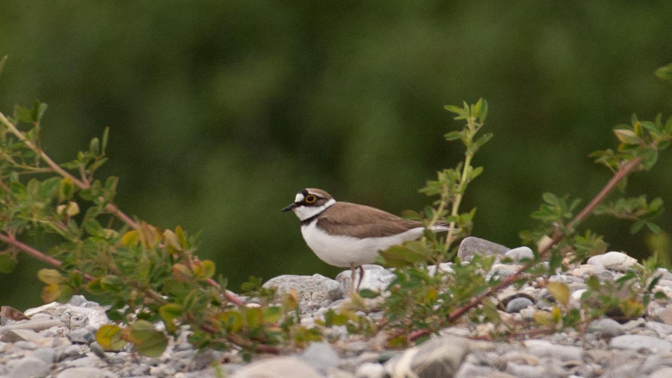 Le petit gravelot fait partie des oiseaux emblématique de la réserve du delta de la Dranse.