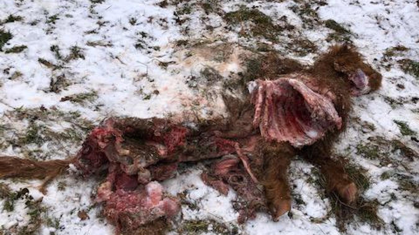 Les loups se sont acharnés sur le taurillon de 250 kg.