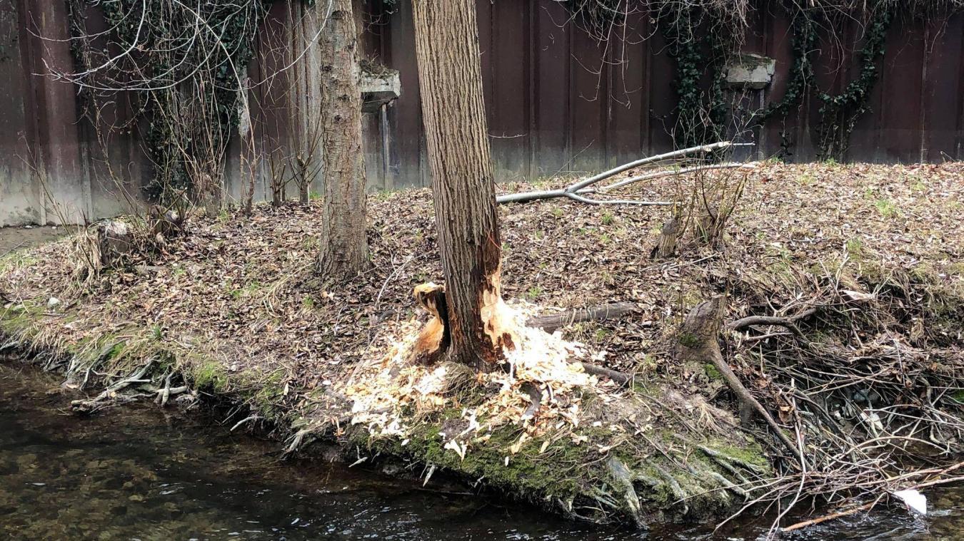 Gaillard : sur les traces du castor en ville