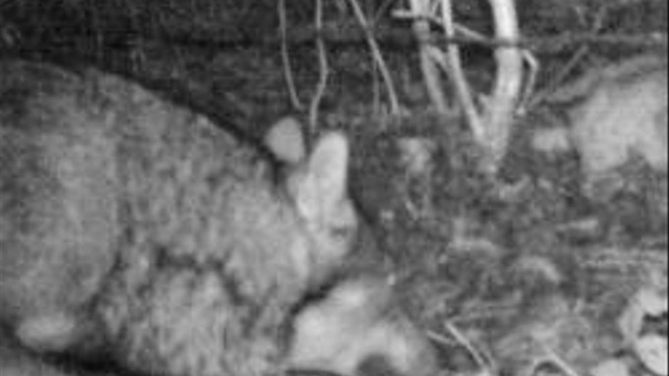Le retour du loup à Genève, image tirée du petit film capté par un piège photographique dans la nuit du 7 au 8 janvier 2021.
