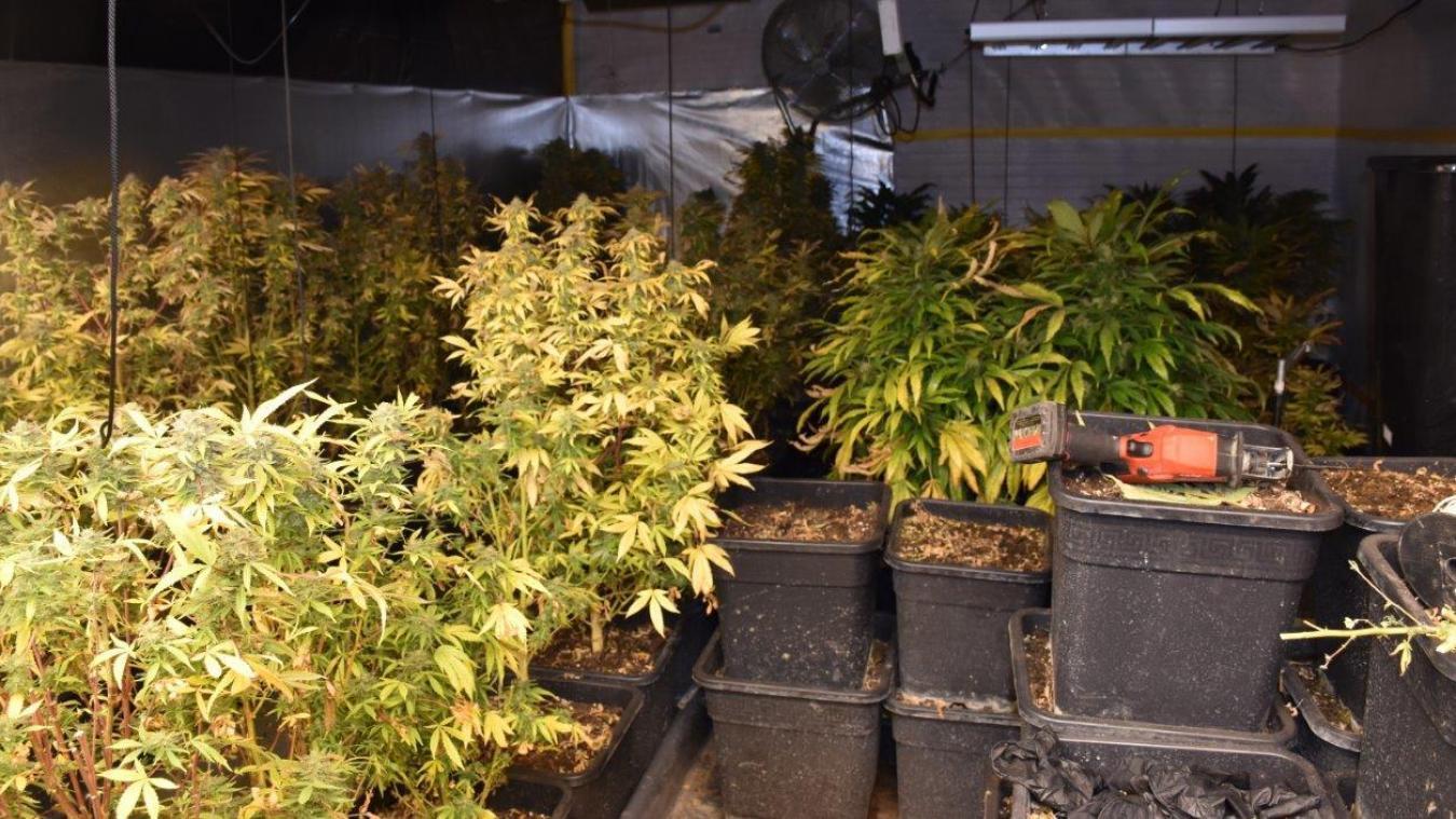 Les 77 pieds identifiés auraient permis la récolte d'environ 11 kilos de cannabis.
