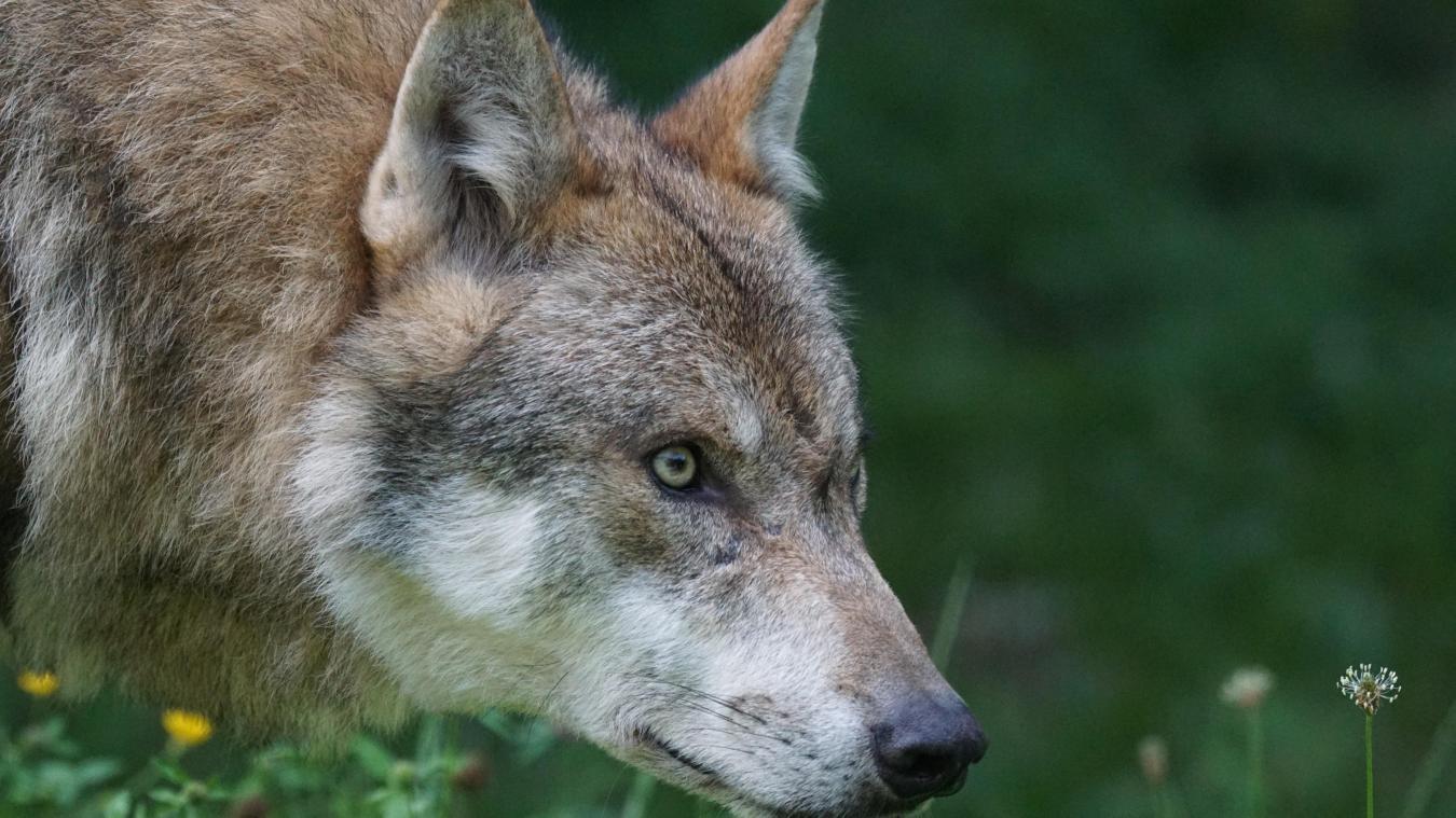 Le loup s'est implanté progressivement sur le bassin annécien à partir du milieu des années 2000.