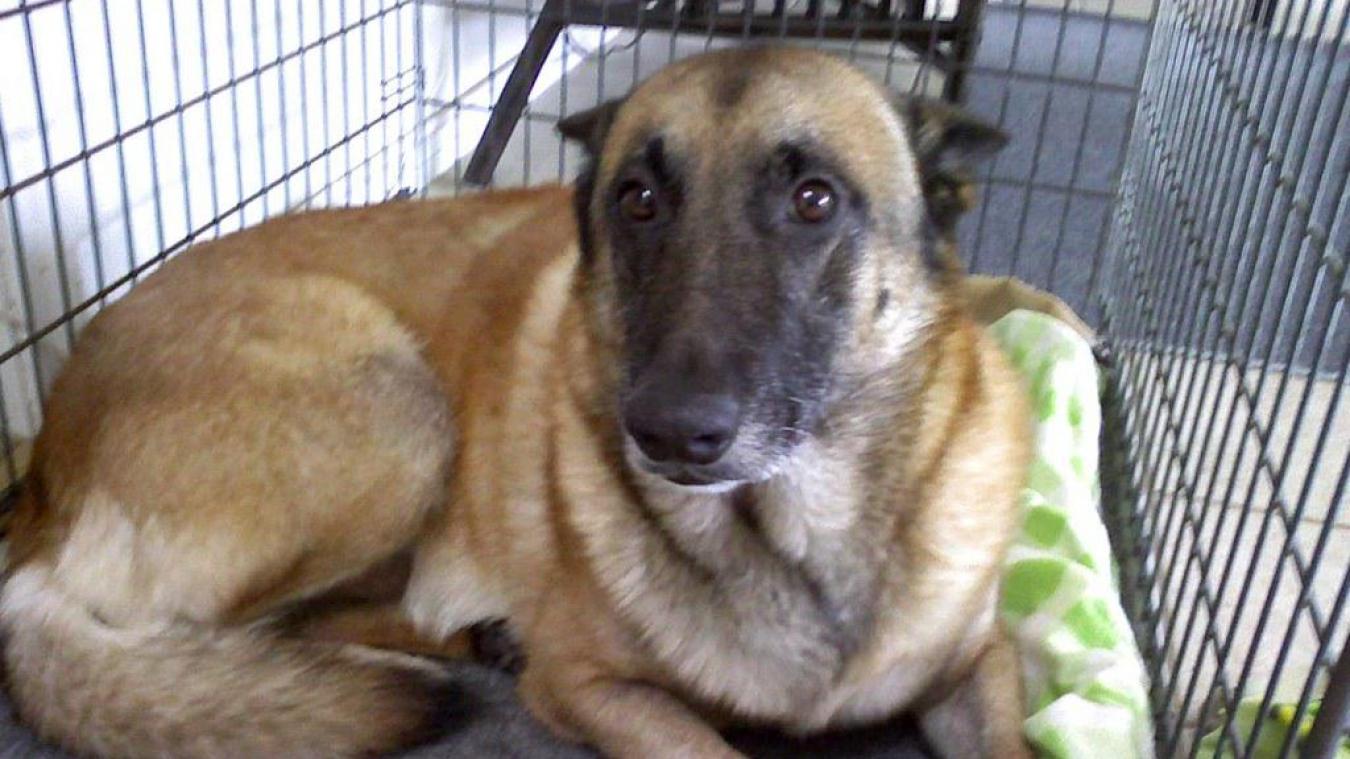 En tout, 8 chiens malinois se trouvaient dans l'appartement. (Photo d'illustration / Flickr / EBurl)