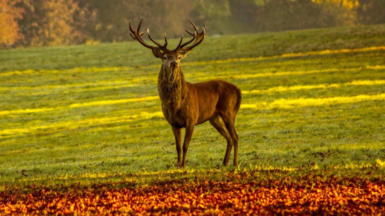 « On reproche aux cerfs de brouter les jeunes pousses de chêne, mais en même temps, on abat des arbres centenaires », ne manque pas de remarquer un promeneur à Genève. ©DRK