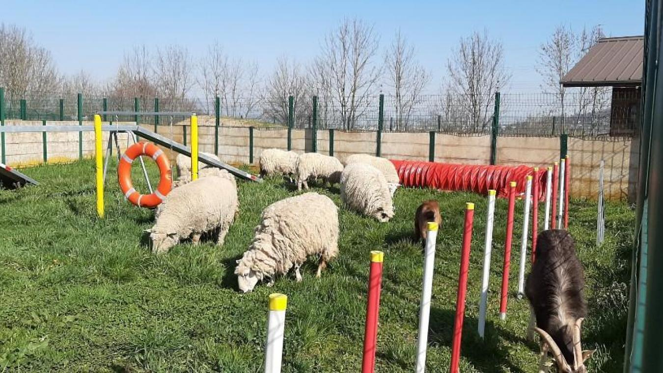 Des moutons et des chèvres récupérés par les bénévoles et ici placés au Refuge de l'Espoir d'Arthaz.