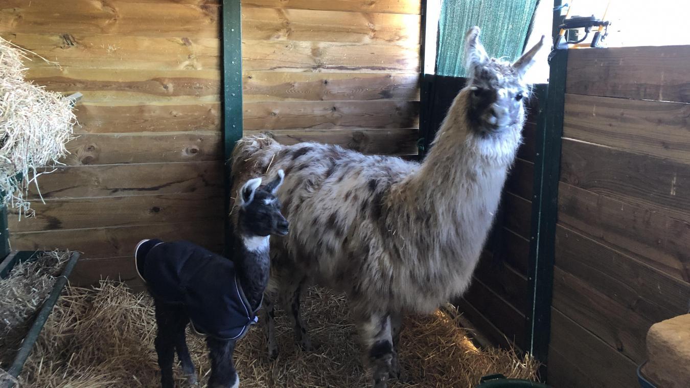 Élevage Alp'Agas de Beaufort: le premier lama 100% beaufortain est né il y a quelques jours!