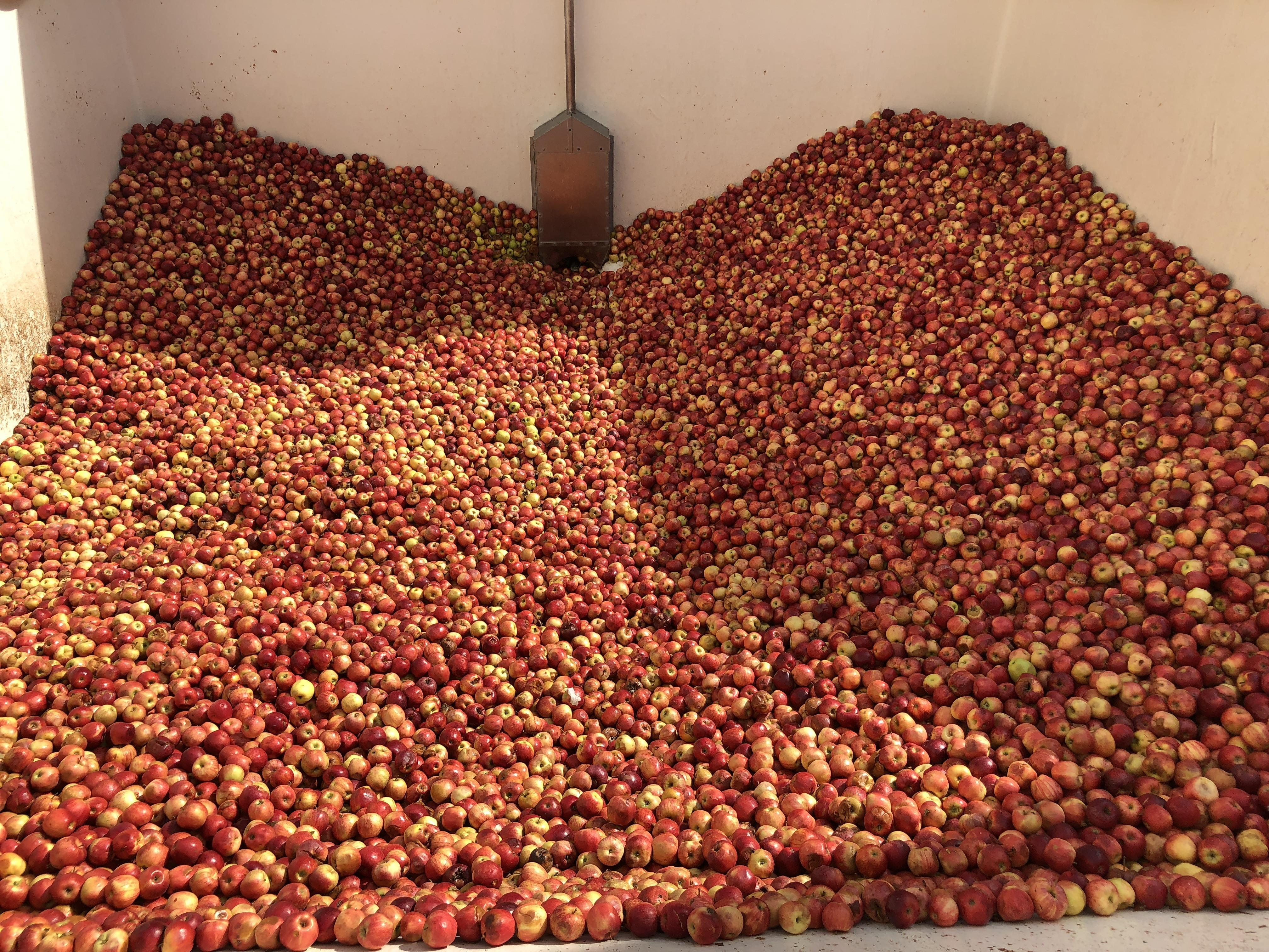 En milieu d'après-midi, il restait encore 8 000 kg de pommes dans la piscine.