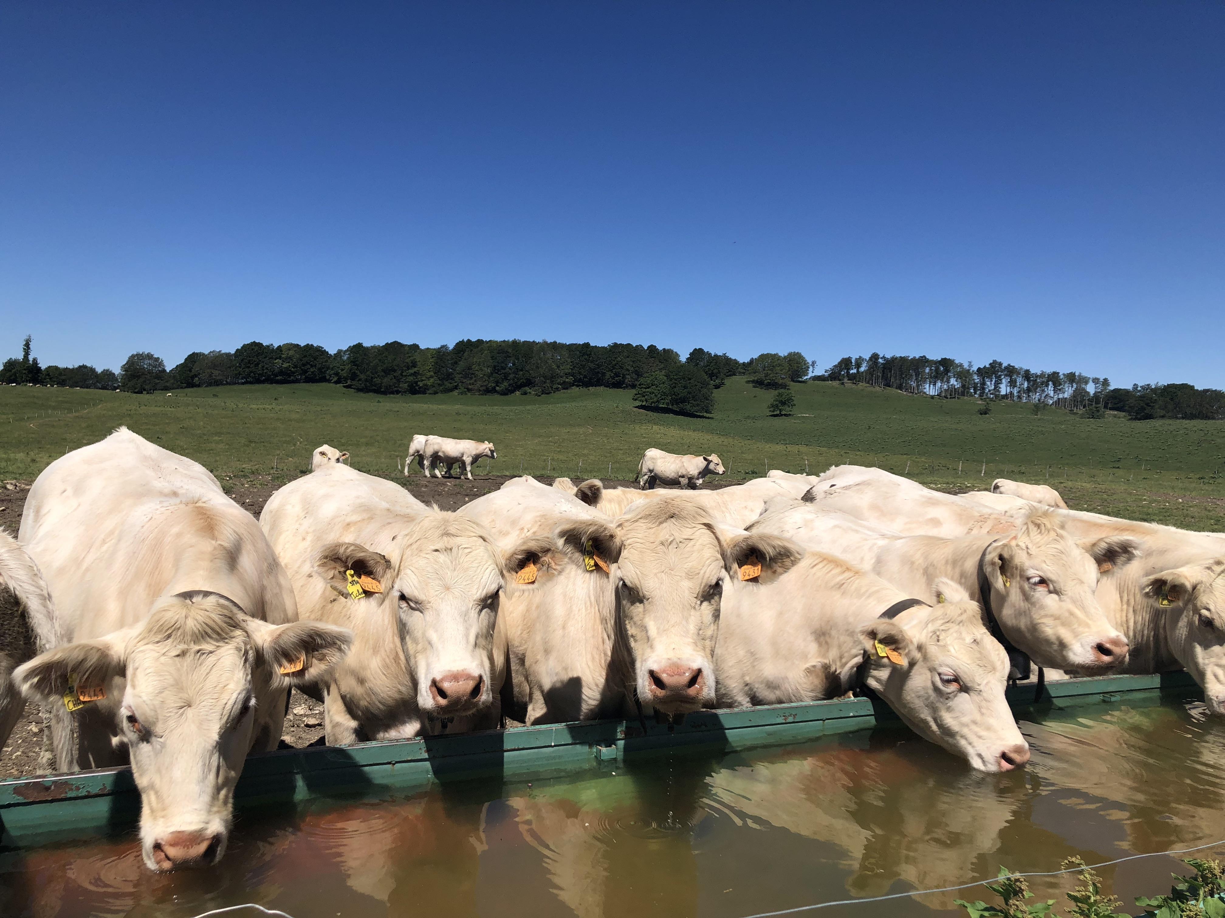 Les vaches laitières sont majoritairement nourries à l'herbe et au foin par chez nous.