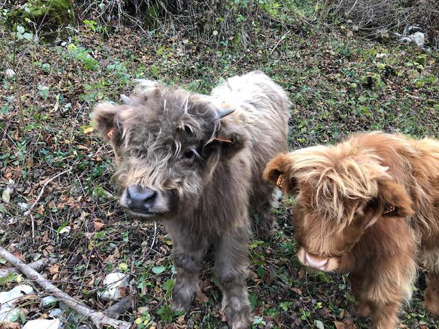 Les deux taurillons d'Emmanuel Dupont-Roc étaient de race rustique écossaise highland.